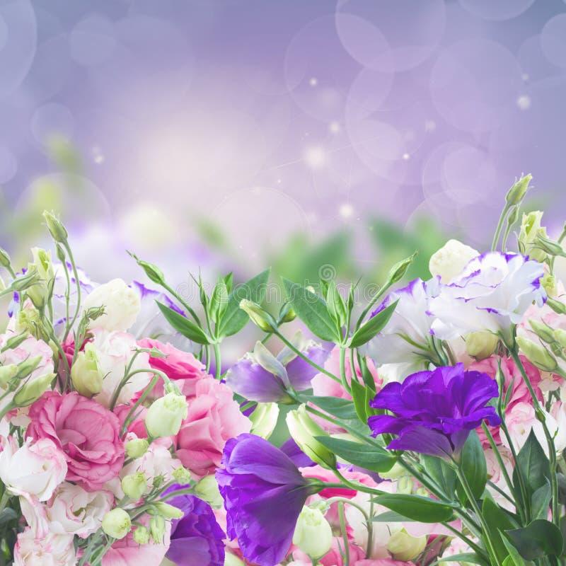 在紫罗兰的南北美洲香草花 库存图片
