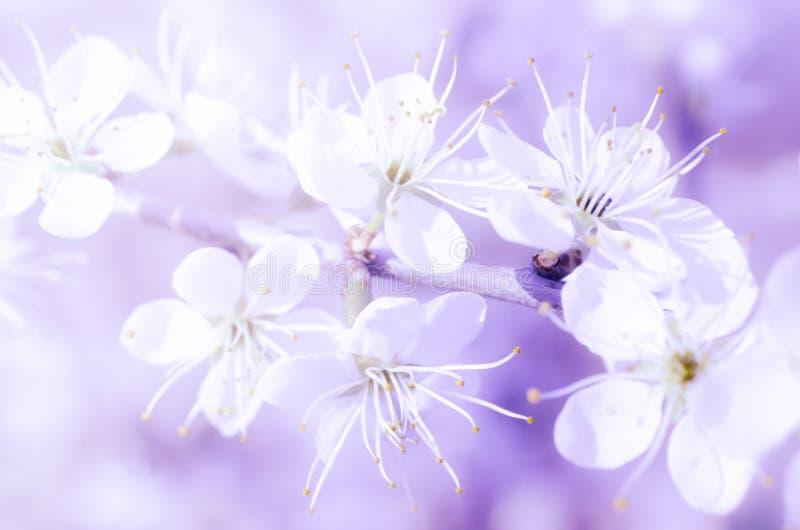 在紫罗兰色背景的梦想的春天花 免版税库存图片