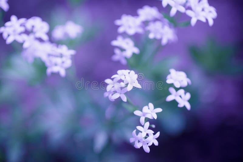 在紫罗兰色背景的精美白花 库存照片