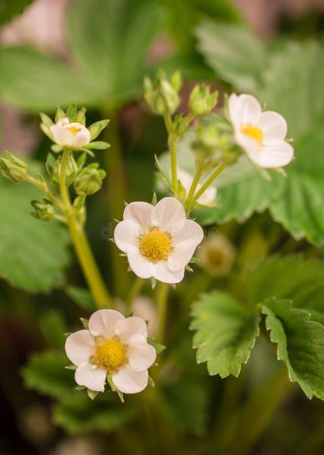 在紫罗兰色背景的精美白花 免版税库存照片