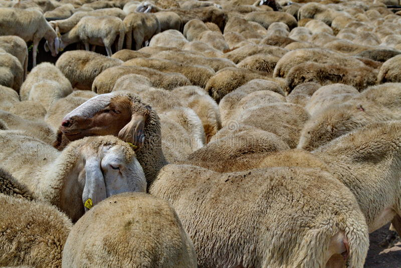 在绵羊的牧群在意大利领域 库存照片