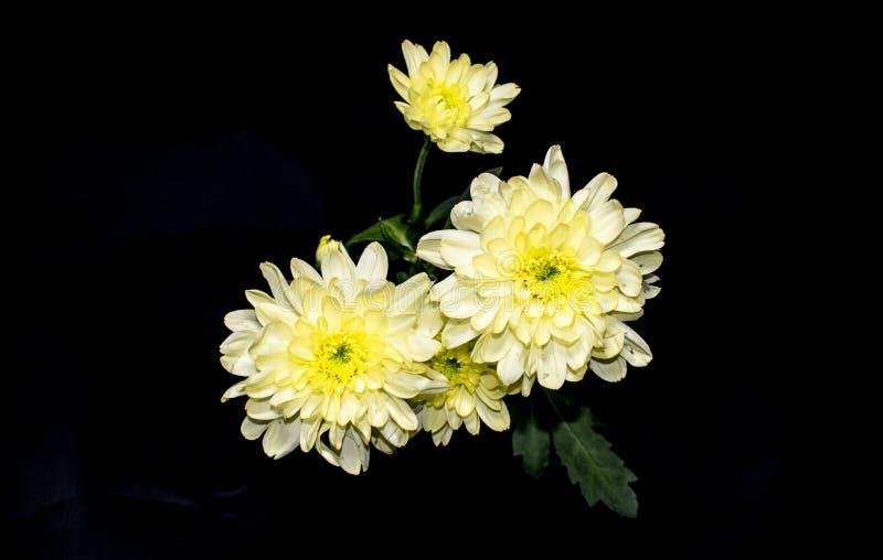 在黑背景的众多的白色菊花 图库摄影