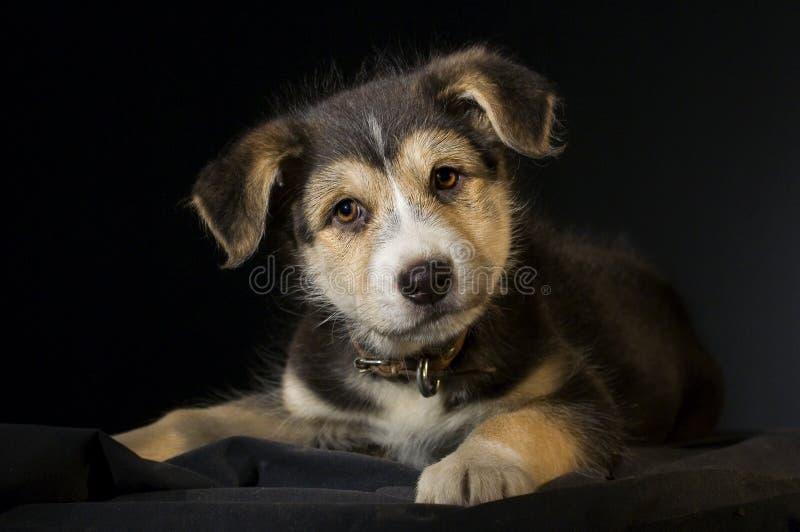 在黑背景的好奇小狗 免版税库存照片