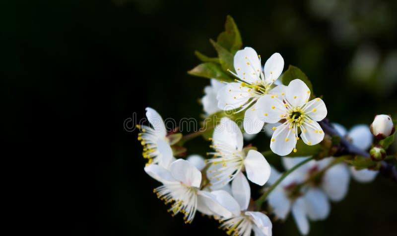 在黑背景的白色樱桃花 库存图片
