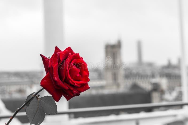 在巴黎背景的红色玫瑰从蓬皮杜文化艺术中心大阳台  免版税库存照片