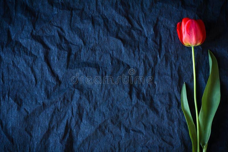 在黑背景的红色郁金香 免版税库存照片