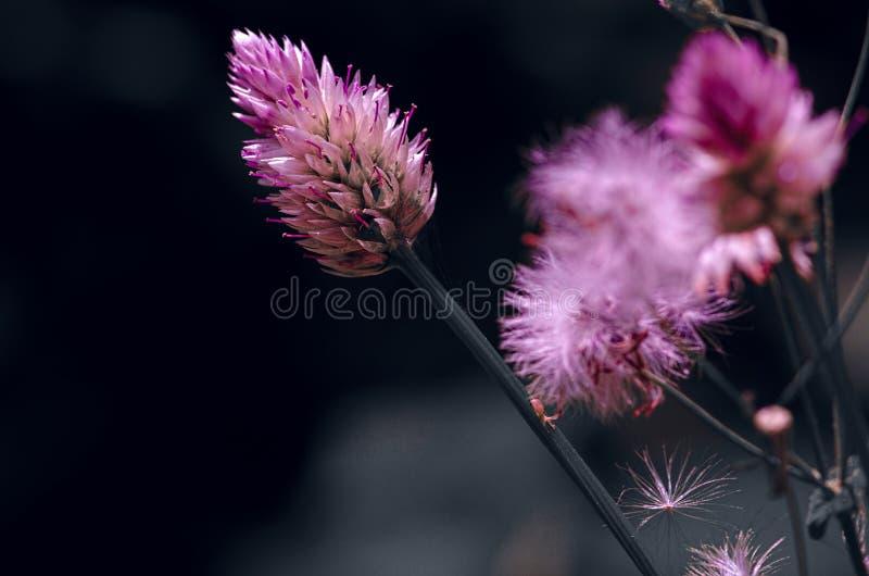 在黑背景的美丽的桃红色紫色花 免版税图库摄影