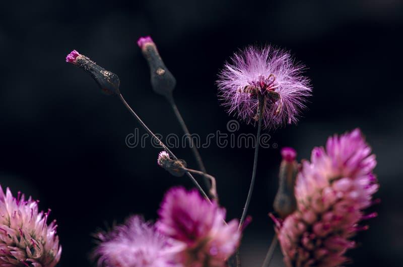在黑背景的美丽的桃红色紫色花 库存图片