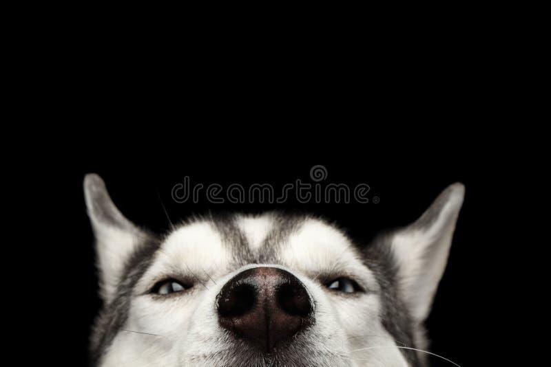 在黑背景的西伯利亚爱斯基摩人狗 免版税图库摄影