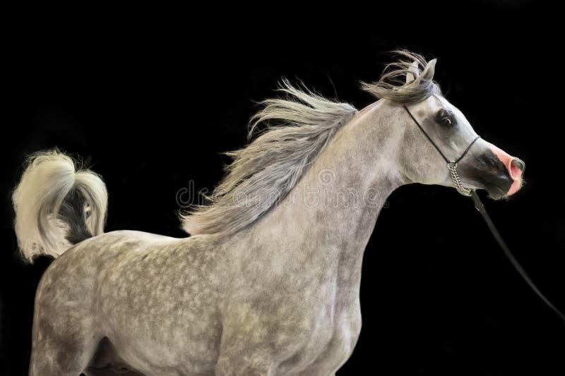 在黑背景的连续美丽的灰色阿拉伯公马 图库摄影
