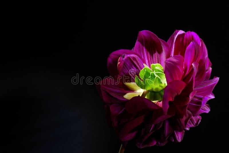 在黑背景的紫色大丽花花 免版税库存照片
