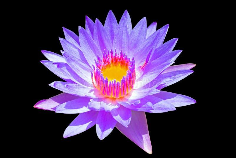 在黑背景的紫色莲花 免版税库存照片