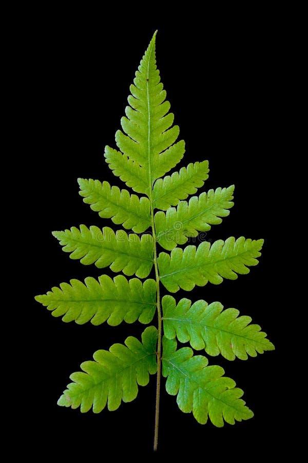 在黑背景的绿色蕨叶子 免版税图库摄影