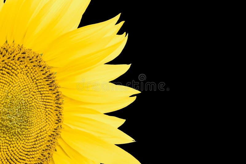 在黑背景隔绝的开花的向日葵特写镜头的片段 库存照片