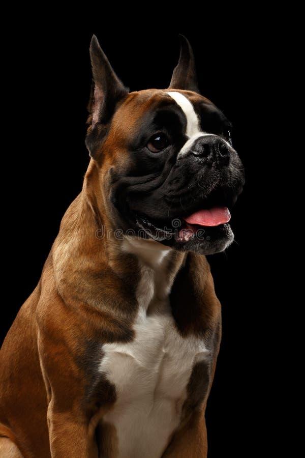 在黑背景隔绝的拳击手狗 库存图片