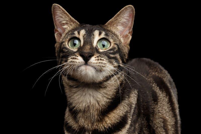 在黑背景隔绝的特写镜头滑稽的孟加拉猫面孔 免版税库存照片