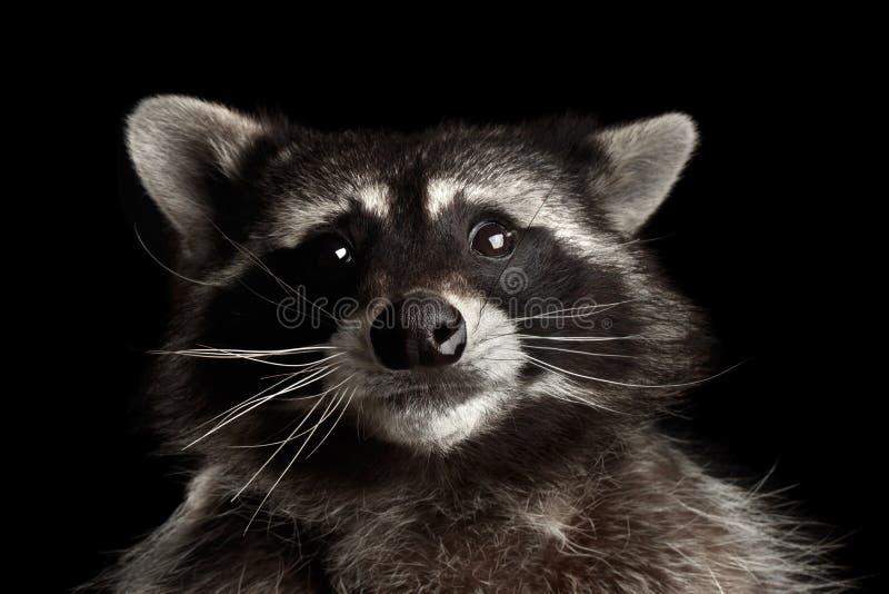在黑背景隔绝的特写镜头画象滑稽的浣熊 库存图片