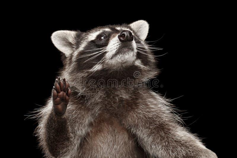在黑背景隔绝的特写镜头画象滑稽的浣熊 库存照片