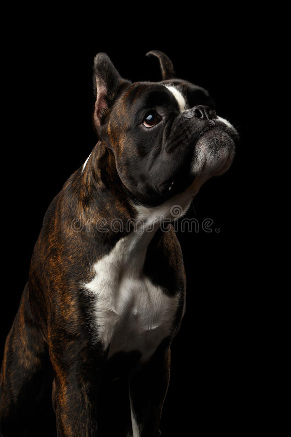 在黑背景隔绝的纯血统拳击手狗 免版税库存照片