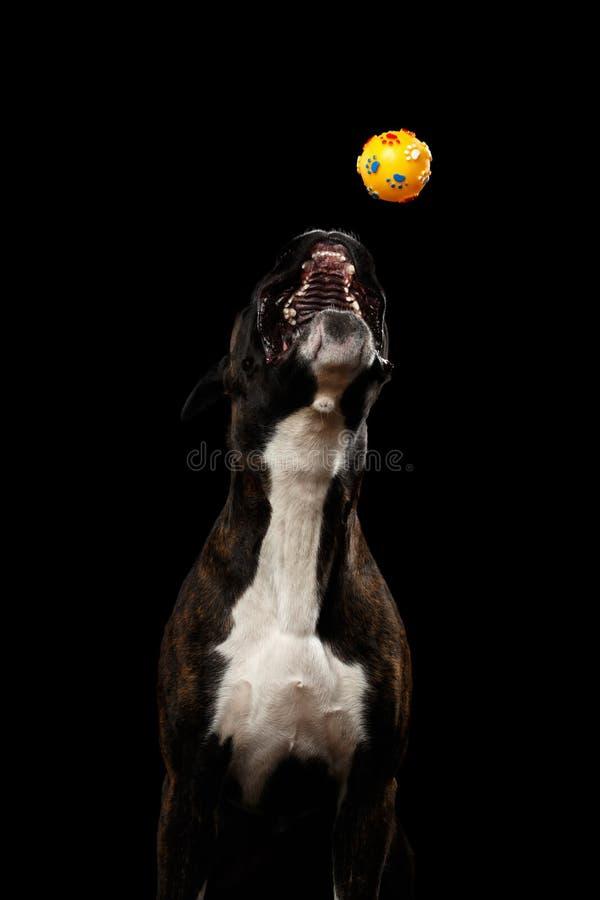 在黑背景隔绝的纯血统拳击手狗 免版税库存图片