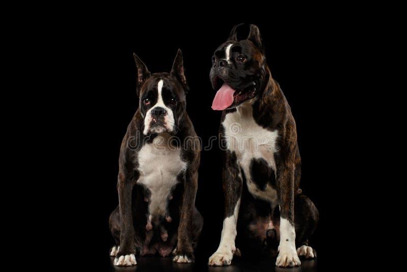 在黑背景隔绝的纯血统拳击手狗 库存照片