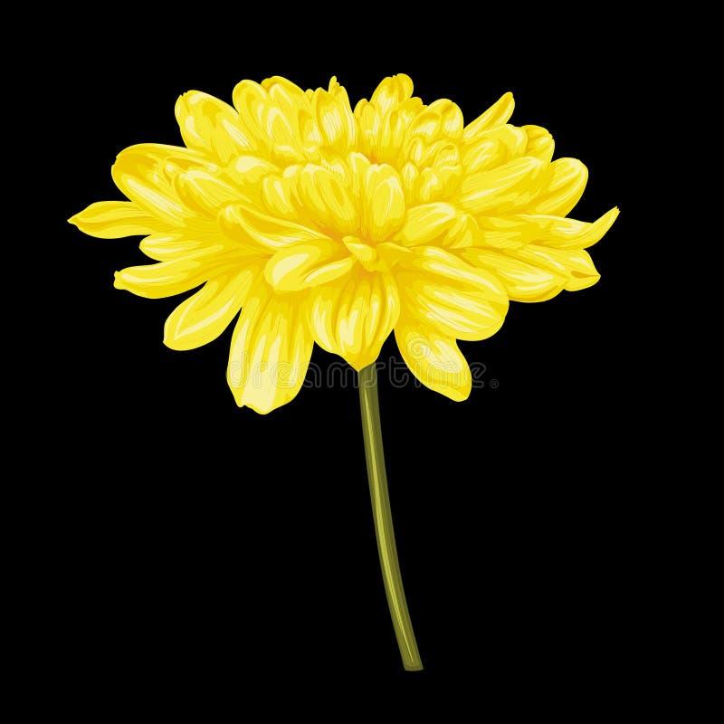 在黑背景隔绝的美丽的黄色大丽花 库存图片