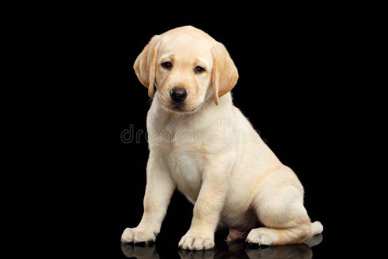 在黑背景隔绝的金黄拉布拉多猎犬小狗 免版税图库摄影
