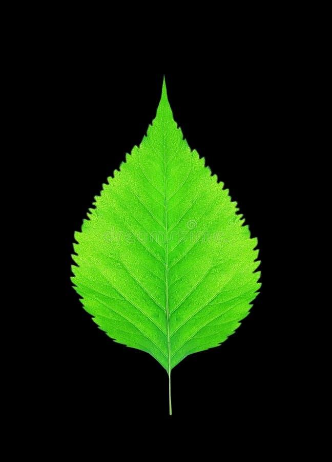 在黑背景隔绝的绿色叶子 库存照片