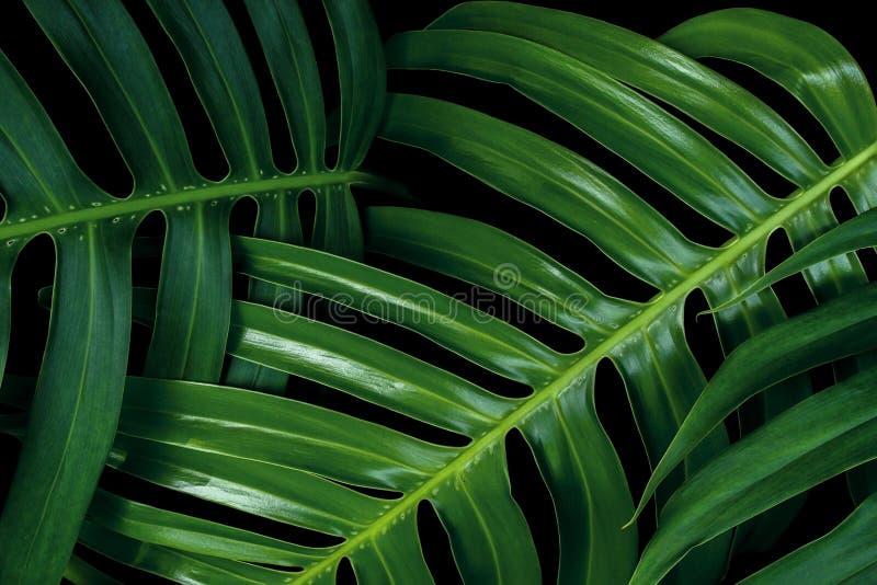 在黑背景, Monstera philo的热带绿色叶子纹理 免版税图库摄影