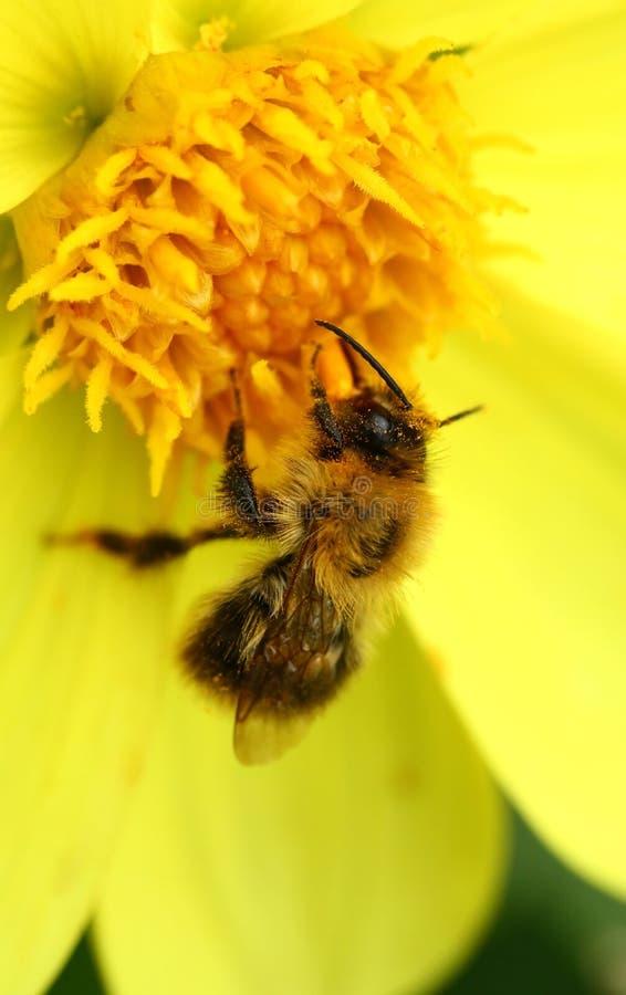 在黄色乔治娜花的蜂 免版税库存照片