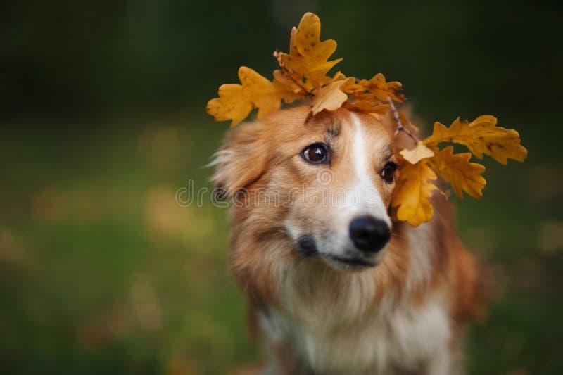 在黄色叶子下的博德牧羊犬在秋天 免版税图库摄影