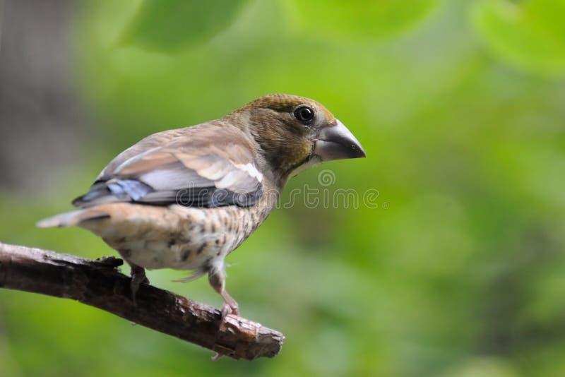 在绿色叶子中的栖息的少年蜡嘴鸟 库存照片