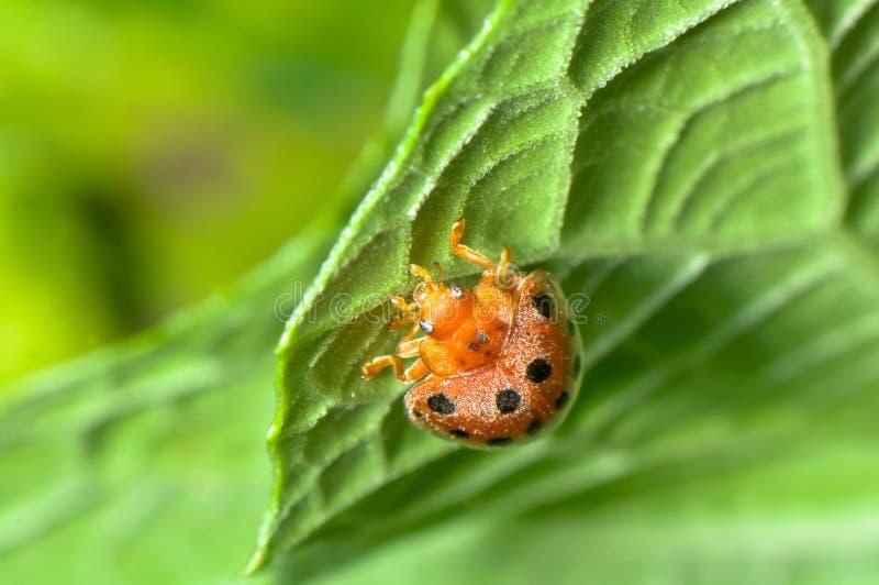 在绿色叶子关闭的瓢虫昆虫 库存图片