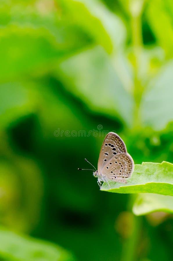在绿色叶子和绿色背景的布朗蝴蝶 免版税库存图片