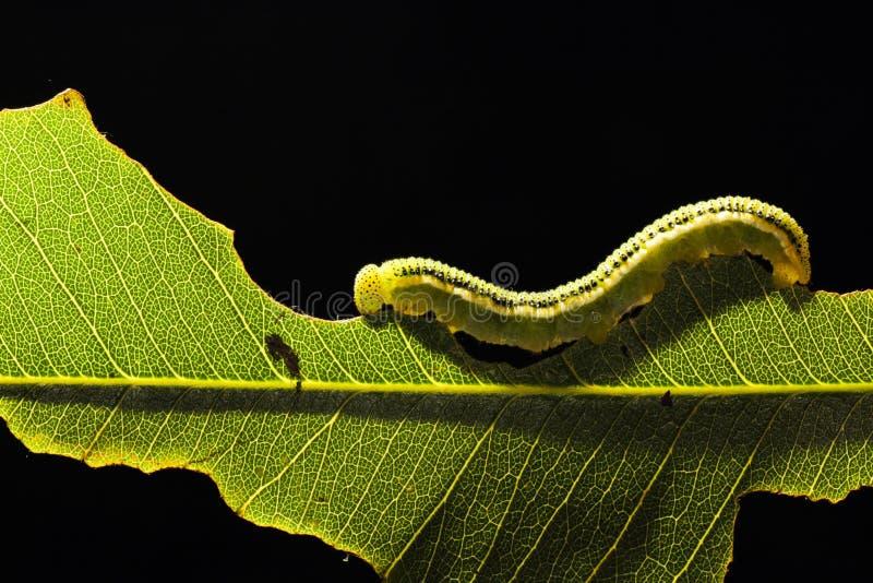 在绿色叶子的一只蠕虫 免版税图库摄影