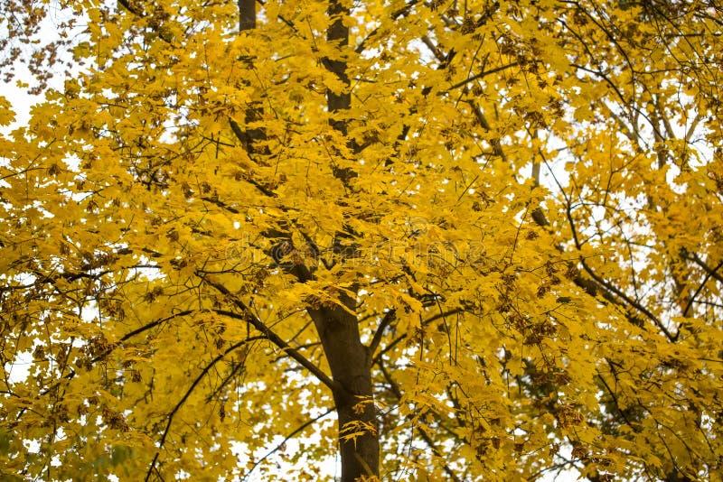 在黄色叶子的槭树,秋天特写镜头 库存照片