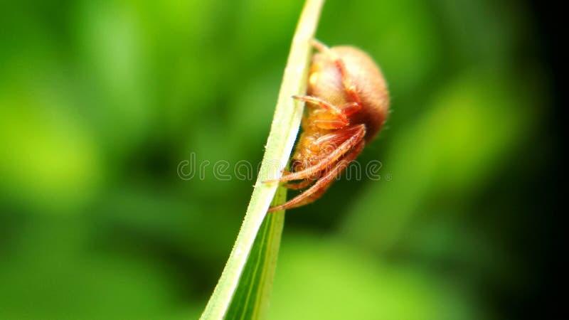 在绿色叶子的红蜘蛛 库存图片