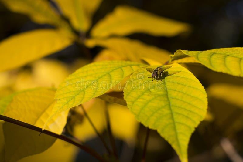 在黄色叶子的蜂 库存图片