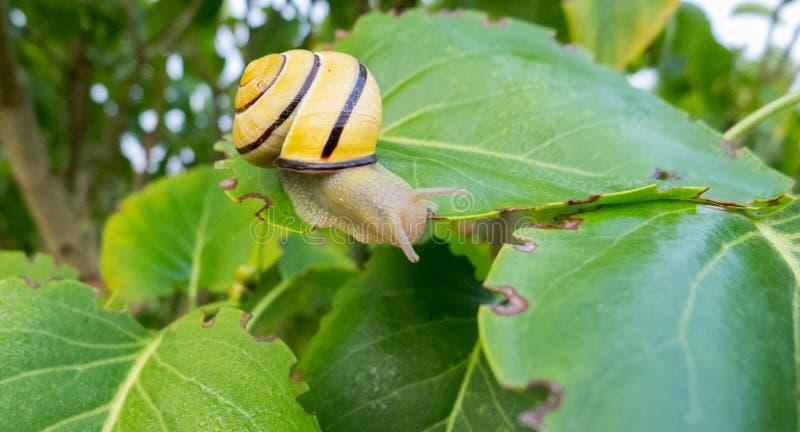在绿色叶子的蜗牛 免版税库存图片