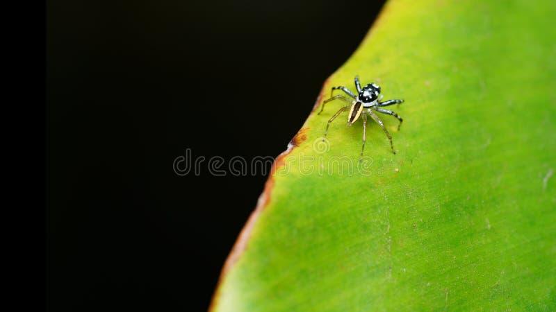 在绿色叶子的跳跃的蜘蛛 免版税库存照片