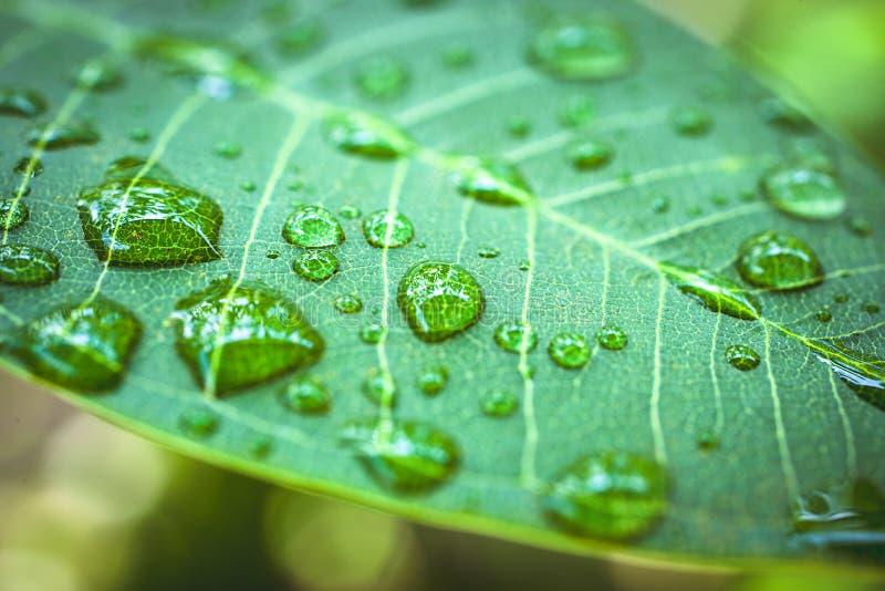 在绿色叶子的雨下落 宏观射击 库存图片