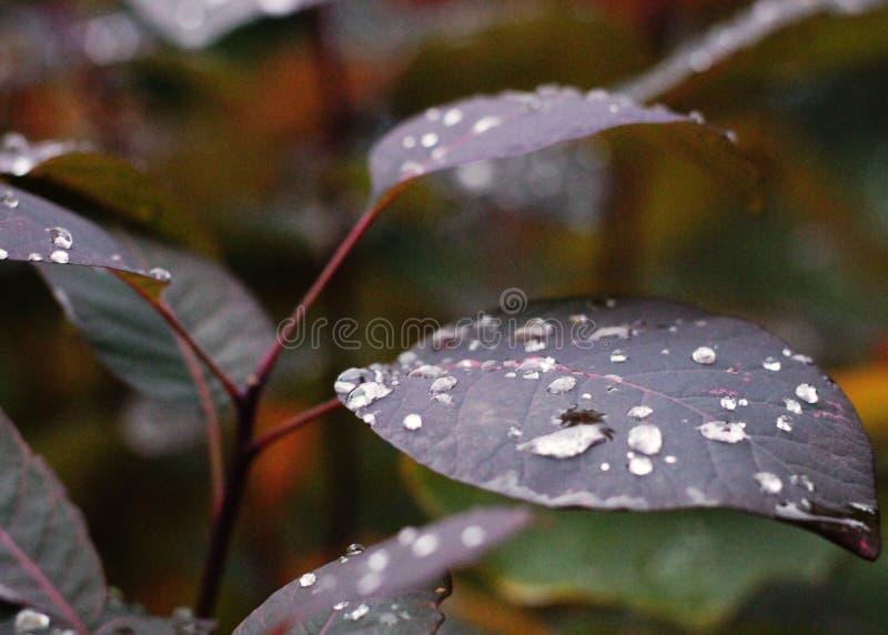 在紫色叶子的雨珠 免版税库存图片