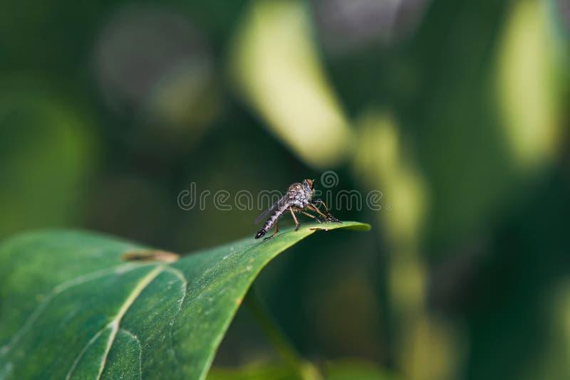 在绿色叶子的马蝇 免版税库存图片