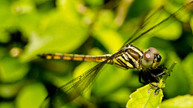在绿色叶子的蜻蜓 免版税库存照片