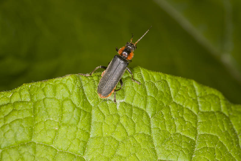在绿色叶子的Cantharis fusca 库存照片