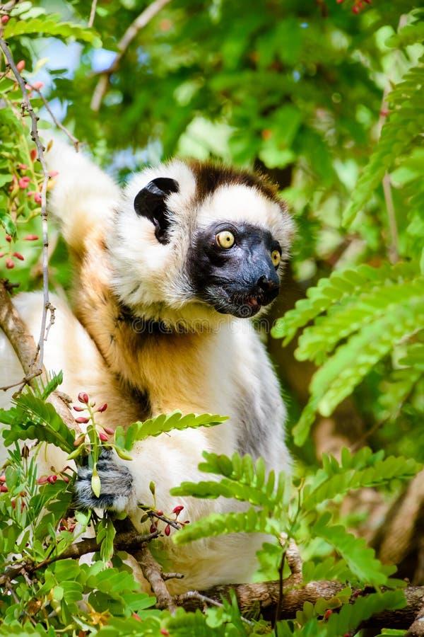 在绿色叶子的Sifaka狐猴 库存图片