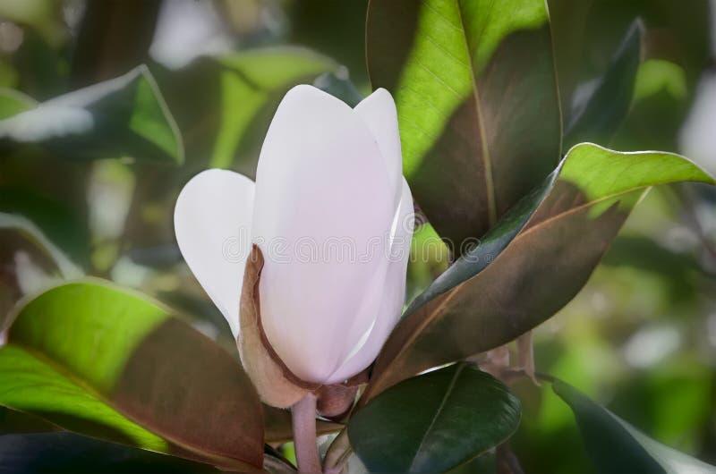 在绿色叶子背景的木兰花  库存图片