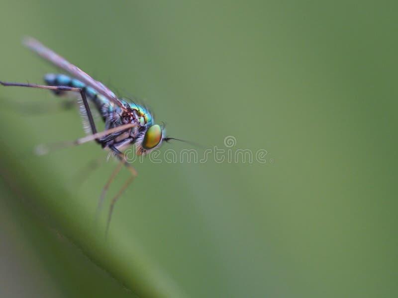 在绿色叶子背景的长腿的飞行 免版税库存照片
