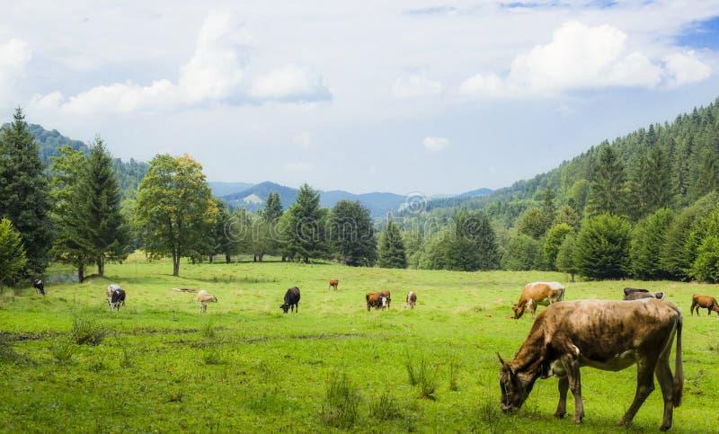在绿色域的母牛 免版税库存照片