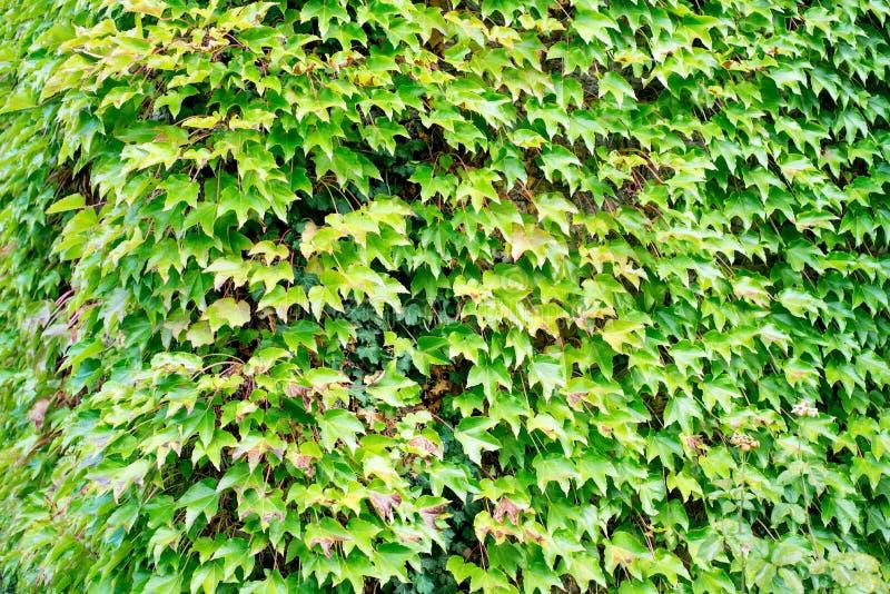 在绿色常春藤盖的壁角墙壁 库存照片